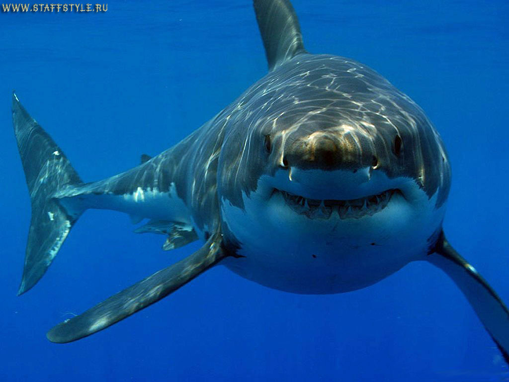 акулы напали на человека в приморском крае... что