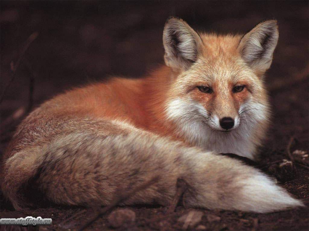 Обои Fox. Лисы foto 12