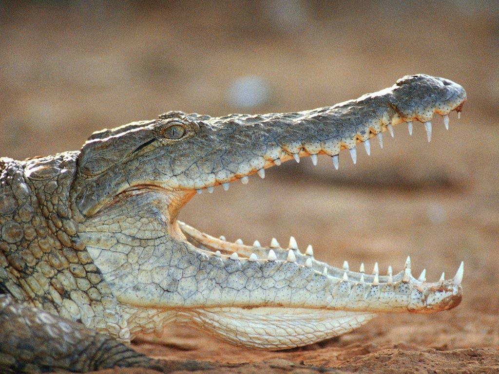 крокодил перед охотой без смс