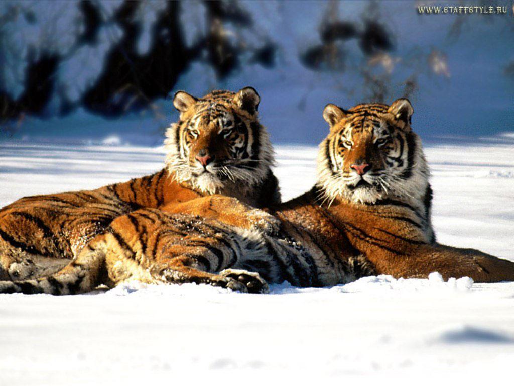 Тигры картинки  красивые фото обои на рабочий стол галерея 1